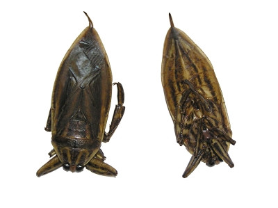 Giant Water Bug (!!!!!!!!Maengda!!!!!!!!) - 2pcs