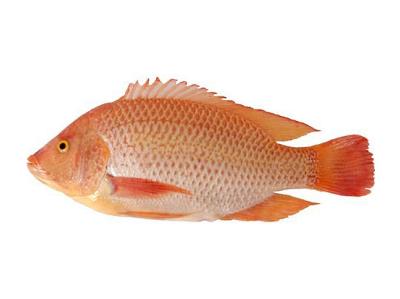 Red Tilapia - KIM SON