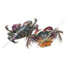 Salted Mangrove Crab - KIM SON/TCT