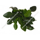 Kaffir Lime Leaves 50g - !!!!Bai Makrut!!!!