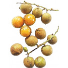 Ceylon Oak Fruit 200g