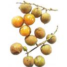 Ceylon Oak Fruit 200g